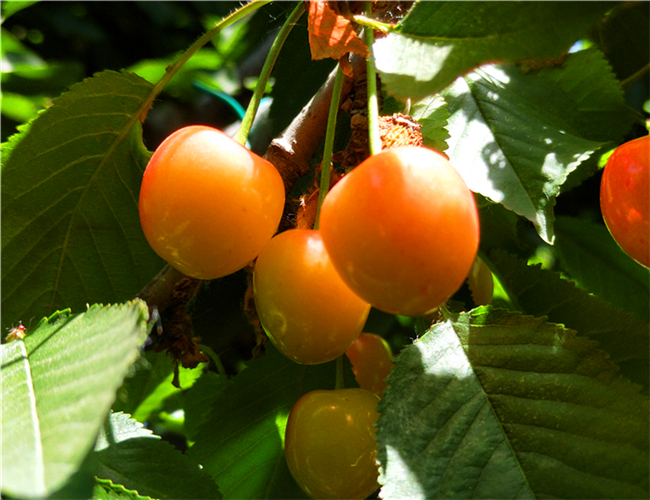 一公分帝王樱桃苗批发价格,三公分黑珍珠樱桃树苗基地介绍