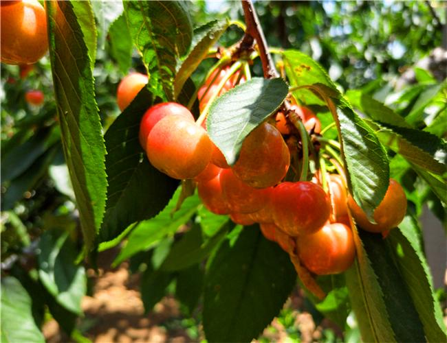 齐早樱桃树苗一亩地多少棵,钻石之光樱桃苗批发价格