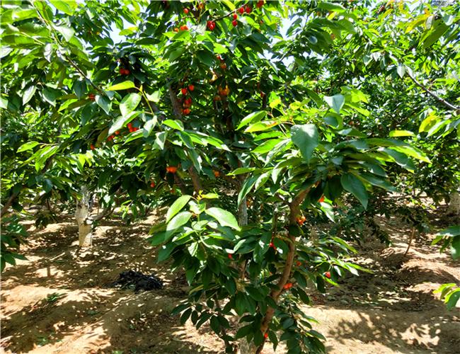 先锋樱桃树苗品种介绍,波尔娜樱桃苗价格及基地
