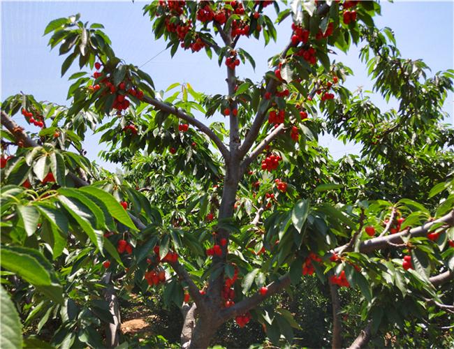 大紫樱桃树苗基地供应,齐早樱桃苗出售价格