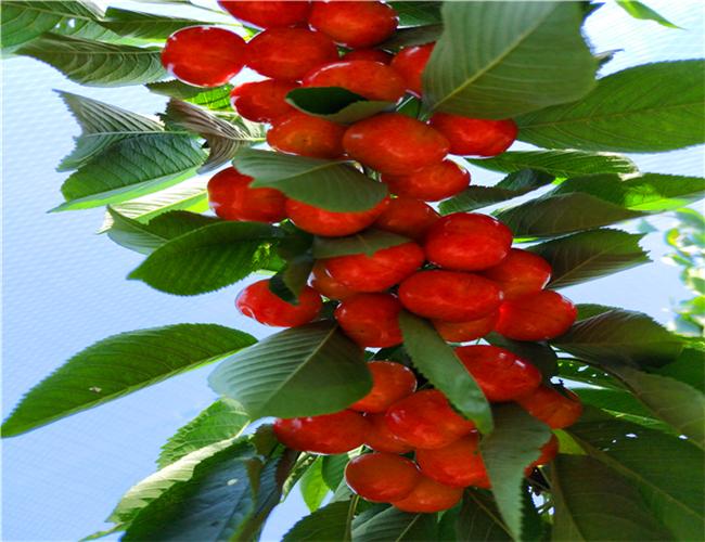 一公分俄罗斯8号樱桃苗零售价,三公分黄蜜樱桃树苗哪里有卖的