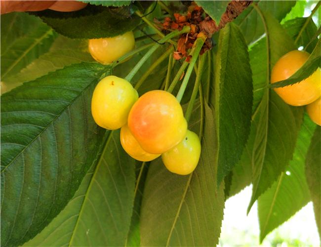 一公分布鲁克斯樱桃苗每日价格,三公分玛瑙红樱桃树苗哪里有卖的