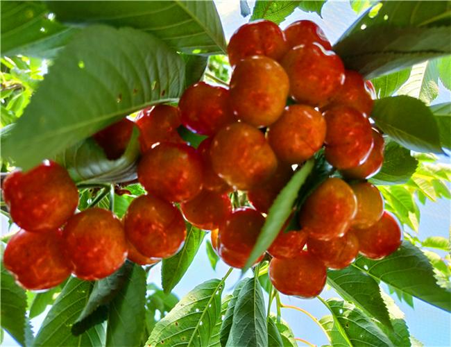 美早樱桃树苗售价,玛瑙红樱桃苗零售价