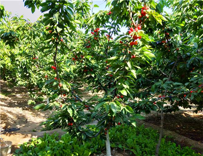 一公分奇早樱桃苗基地报价,三公分兰丁樱桃树苗多少钱