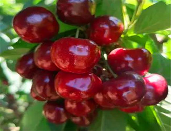 一公分福星樱桃苗基地价格,三公分美国一号樱桃树苗基地