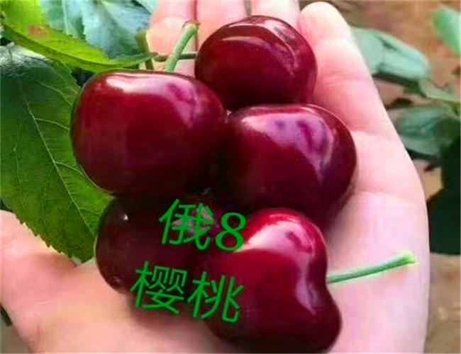 一公分兰丁樱桃苗价格及基地,三公分布鲁克斯樱桃树苗批发