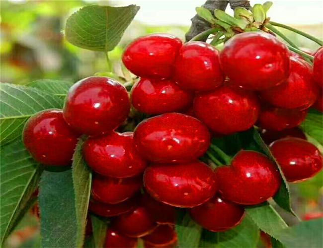 红灯樱桃树苗种植技术,早大果樱桃苗今年价格