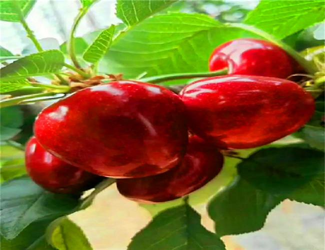 岱红樱桃树苗示范基地,萨米脱樱桃苗什么价格