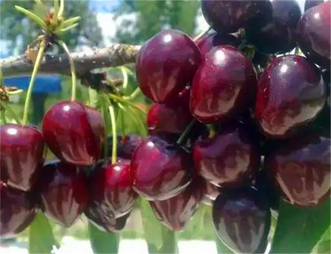 红灯樱桃树苗种植基地,早大果樱桃苗价格