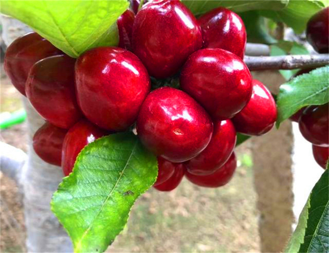 一公分樱桃苗价格多少钱,三公分萨米脱樱桃树苗详细介绍