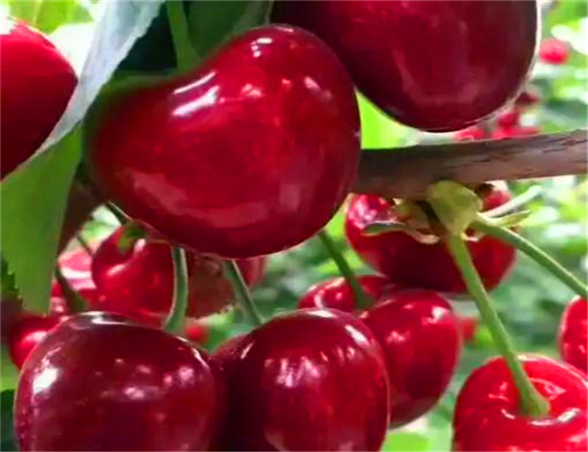 玛瑙红樱桃苗种植基地,矮化玛瑙红樱桃苗零售价