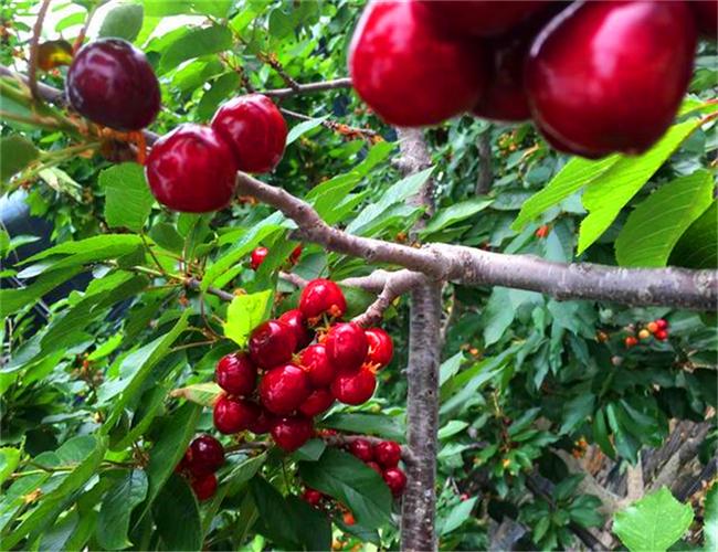 鲁樱3号樱桃树苗售价,红灯樱桃苗基地价格