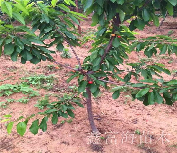 吉塞拉樱桃苗产地,矮化吉塞拉樱桃苗批发价格