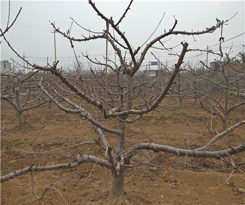 兰丁樱桃树苗出售基地,奇早樱桃苗价格多少钱