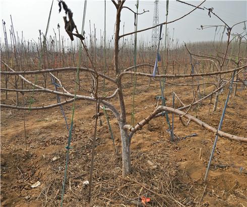 玛瑙红樱桃苗详细介绍,矮化玛瑙红樱桃苗批发价格