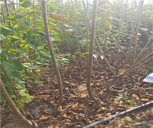 一公分先锋樱桃苗价格表,三公分波尔娜樱桃树苗生产苗圃