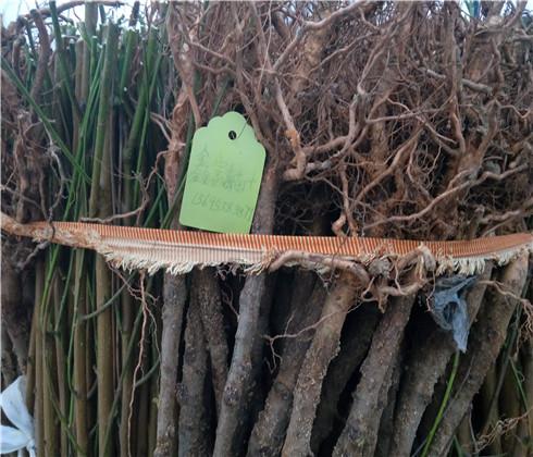 兰丁樱桃苗几年结果,矮化兰丁樱桃苗市场价格