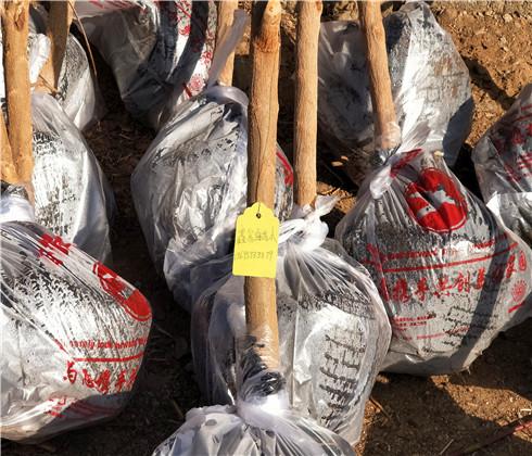拉宾斯樱桃树苗种植基地,吉塞拉樱桃苗产地价格
