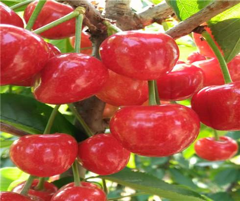 一公分齐早樱桃苗市场价格,三公分大紫樱桃树苗怎么卖