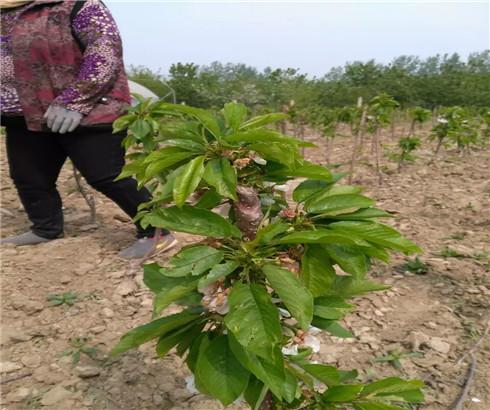 一公分黑珍珠樱桃苗零售价,三公分吉塞拉樱桃树苗基地规模