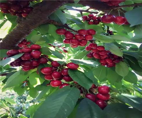 一公分大紫樱桃苗包邮价格,三公分早大果樱桃树苗现货销售