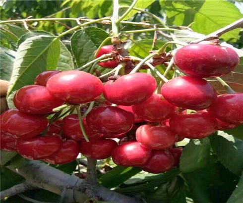 黑珍珠樱桃树苗种植技术,帝王樱桃苗什么价格