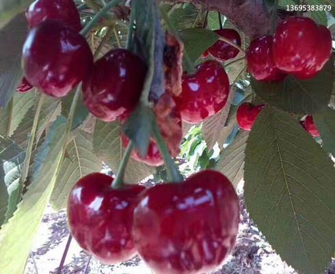 吉塞拉樱桃苗基地,矮化吉塞拉樱桃苗价格列表