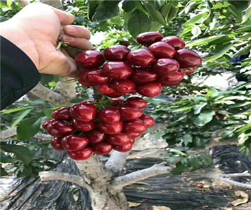 一公分奇早樱桃苗每日价格,三公分兰丁樱桃树苗行情