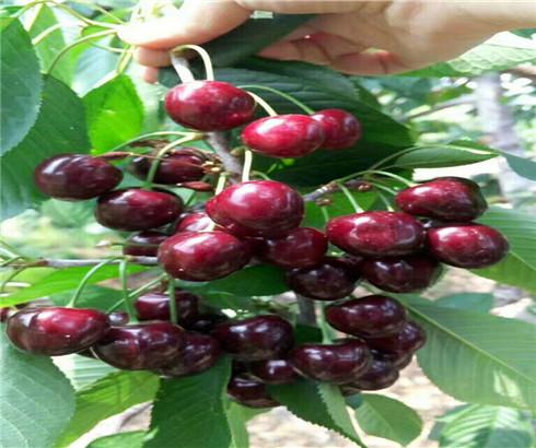 一公分早大果樱桃苗今年价格,三公分红灯樱桃树苗基地批发