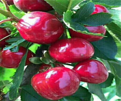 一公分樱桃苗价格公示,三公分萨米脱樱桃树苗多少钱