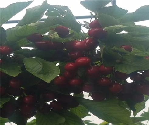 美国一号樱桃树苗基地,福星樱桃苗今年价格