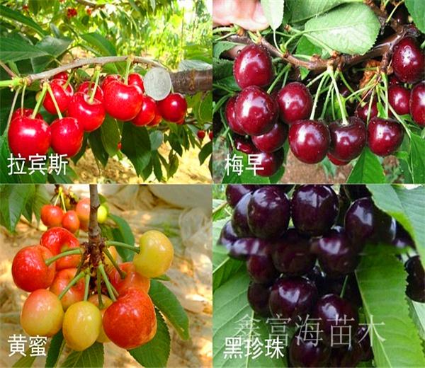 黑珍珠樱桃苗基地供应,矮化黑珍珠樱桃苗每日价格
