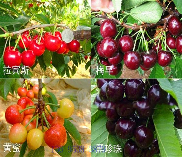 一公分福星樱桃苗价格公示,三公分美国一号樱桃树苗种植基地