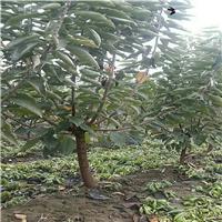俄罗斯八号樱桃树苗用什么肥料好、俄罗斯八号樱桃树苗基地