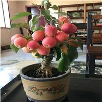 烟富8号苹果树苗育苗基地、烟富8号苹果树苗如何管理