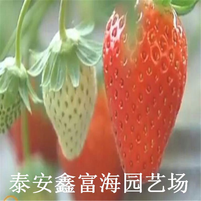 丰香草莓苗 丰香草莓苗价格与报价