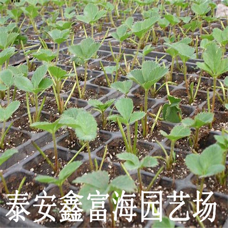 奶油草莓苗 奶油草莓苗价格与报价