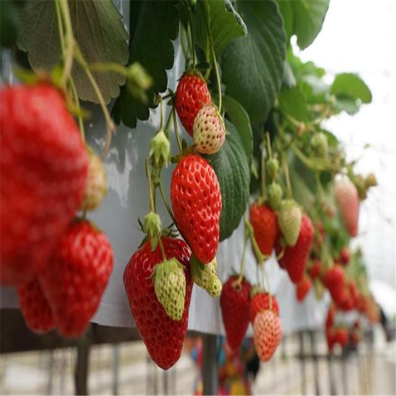法兰地草莓苗 法兰地草莓苗种植技术