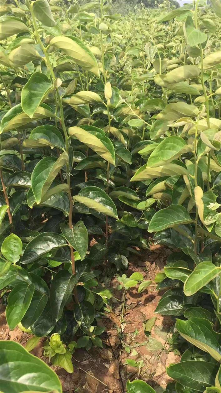 贵阳4.5公分柿子苗