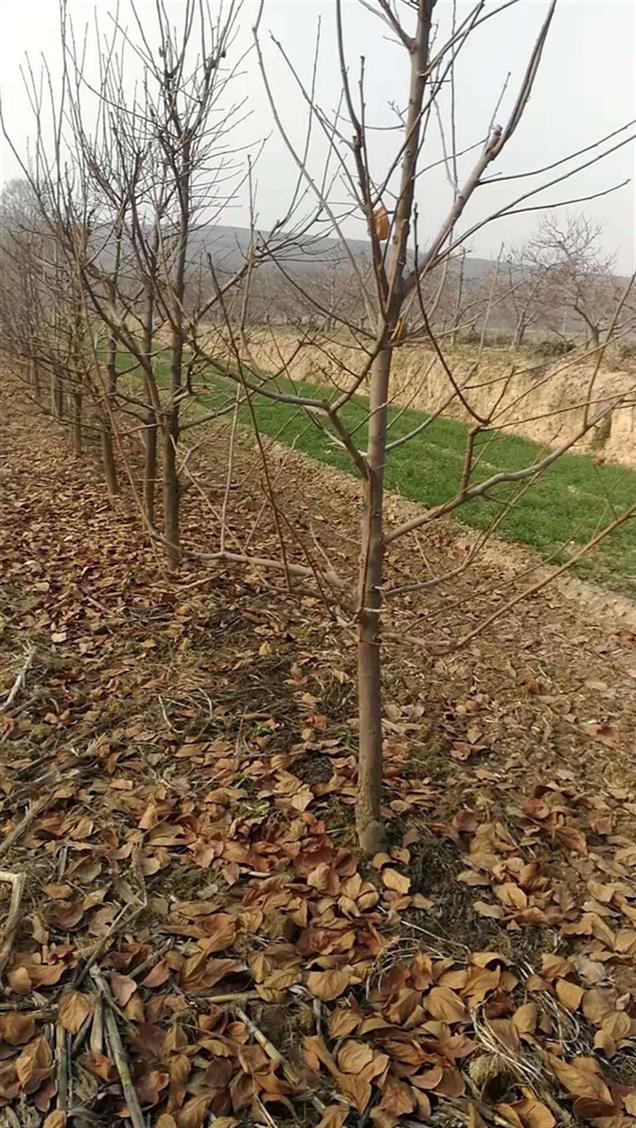 富平4.5公分柿子苗供应商