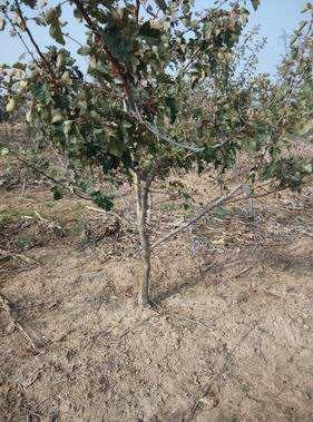 河南山楂树出售