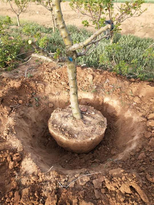 河南占地8公分山楂树