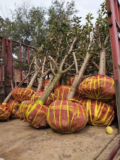 陕西10公分山楂树出售