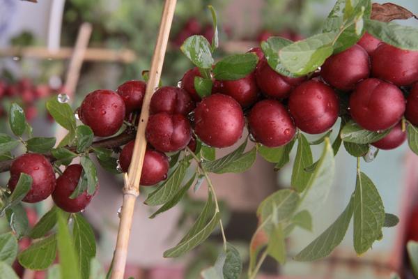 山西新品种钙果苗基地