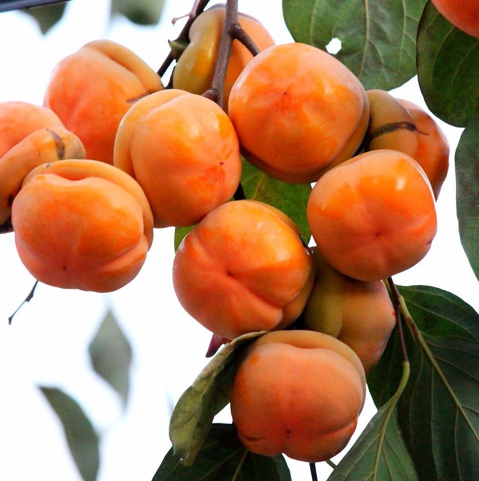 柿子苗促销