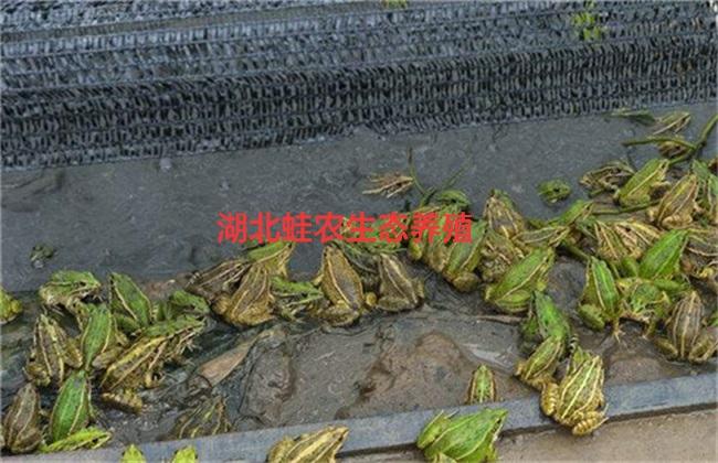 滁州黑斑蛙每亩的利润分析出租