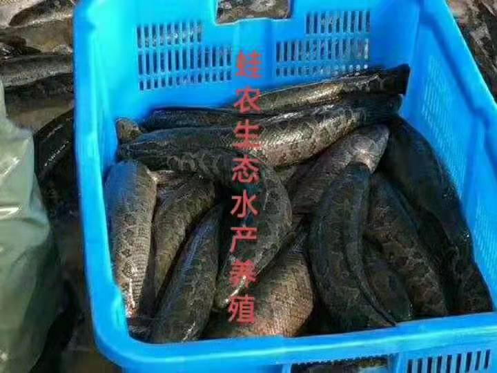 济宁湖北蛙农9号黑鱼养殖咨询
