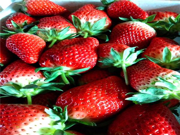 全明星草莓 全明星草莓一亩地多少棵