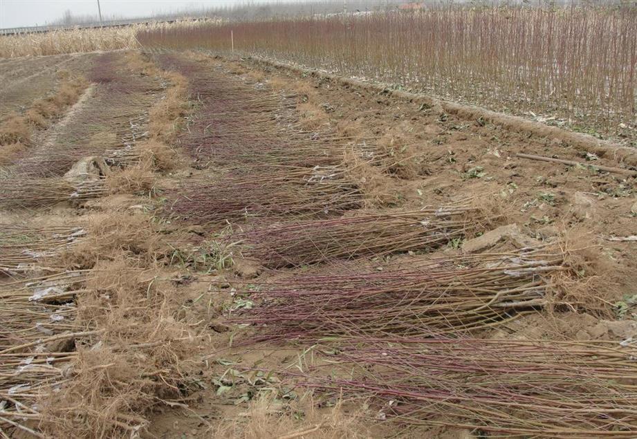山西4公分占地桃树种植基地