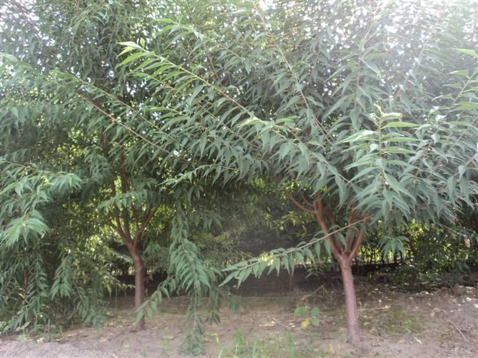 8公分主干形桃树产地产地货源